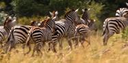 African Cats Zebras