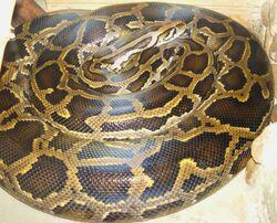 Python molurus тигровый питон