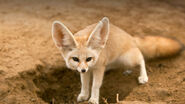 Animals hero fennec2