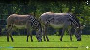 Chester Zoo Zebras