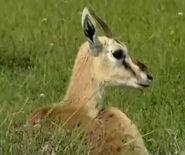 HugoSafari - Gazelle08