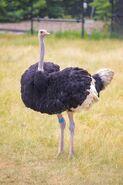 Ostrich (Animals)