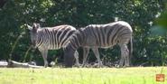Woodland Park Zoo Zebras