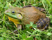 1200px-North-American-bullfrog1
