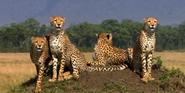 African Cats Cheetahs