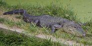 Alligator, American