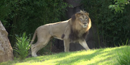 Cincinnati Zoo Lion
