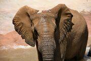 Elephant-Ears art