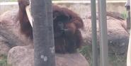 Kansas City Zoo Orangutan