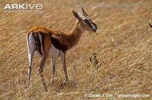 Female-Thomsons-gazelle-feeding