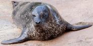 Fresno Zoo Harbor Seal