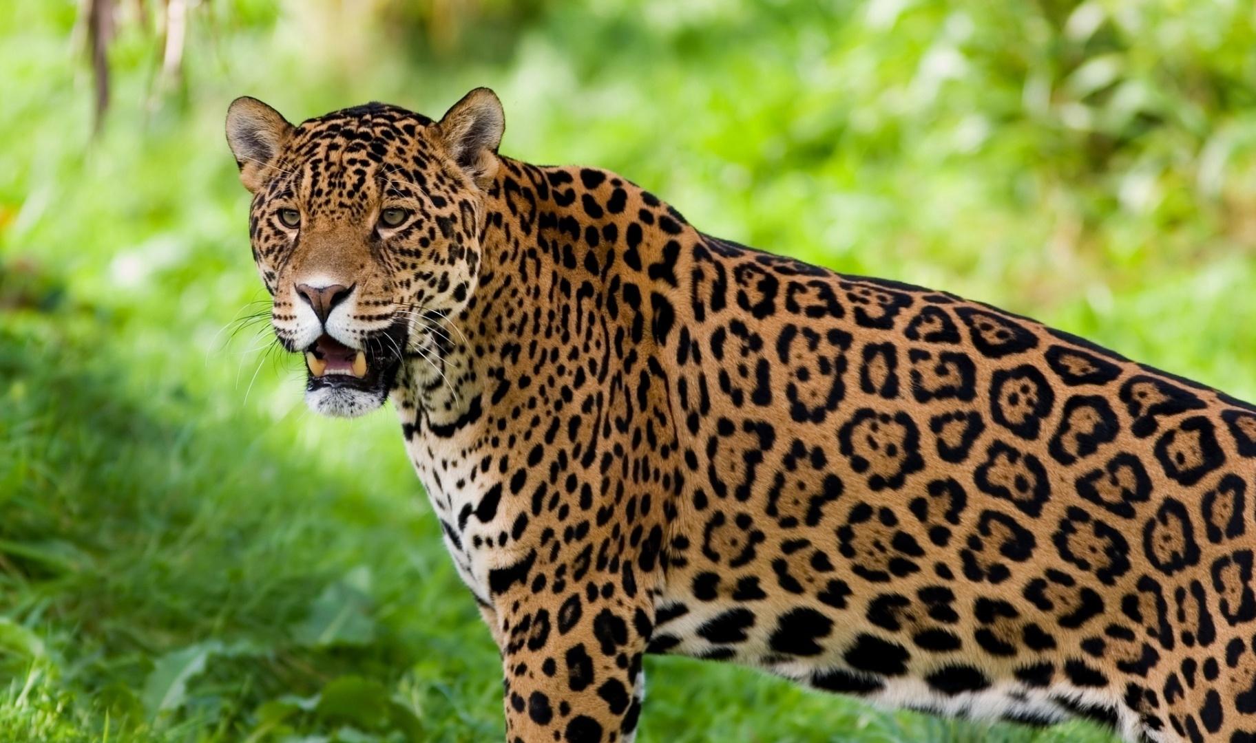 Superior Jaguar Guyana National Animal 1