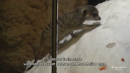 Saint Louis Zoo Meerkat