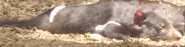 Toledo Zoo Tasmanian Devil