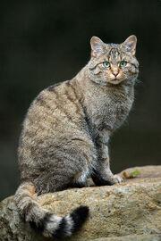 Wildcat, European