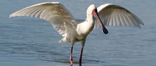 3784africanspoonbill1 658w