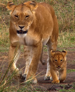African Cats Lioness