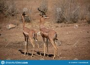 Gerenuk buck and doe