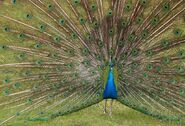 IndianPeafowl