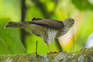 Japanese-sparrowhawk-131024-111eos1d-fy1x0203