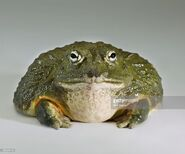 Photo Bullfrogs