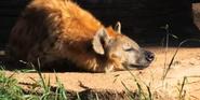 RBZaG Hyena