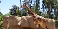 San Diego Zoo Giraffe