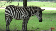 Alabama Safari Park Zebra