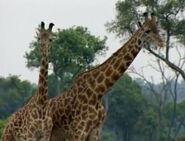 HugoSafari - Giraffe18