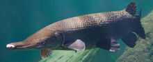ID AlligatorGar 1200x490