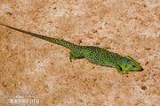 Ocellated-lizard-90053