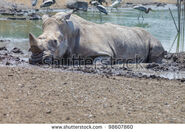 Stock-photo-white-rhino-in-mud-98607860