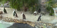 Tampa Safari Penguins