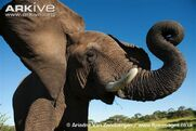 African-elephant-calf-flapping-ears
