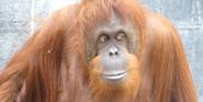 Columbus Zoo Orangutan