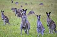 Eastern grey kangaroo mob
