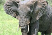 Elephant-ears 2891917
