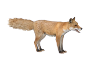 FoxRed HENDRIX