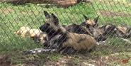 Oklahoma City Zoo Wild Dog