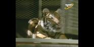 Scout's Safari Tiger