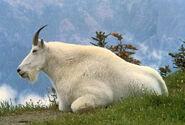 1280px-Mountain Goat USFWS