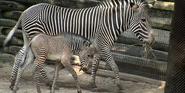 Cincinnati Zoo Grévy's Zebra
