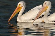 Male and Female American White Pelicans
