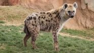 Spotted-hyena-sideview.jpg.adapt.945.1