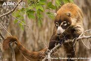 White-nosed-coati-climbing-in-tree