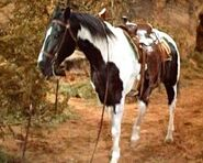 Cochise the horse
