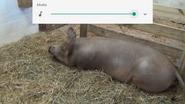Columbus Zoo Pig
