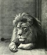 515px-Sultan the Barbary Lion