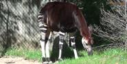 Columbus Zoo Okapi
