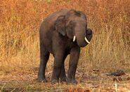 Indian elephant 7